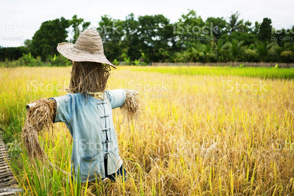 Scarecrow straw man guarding rice fields stock photo