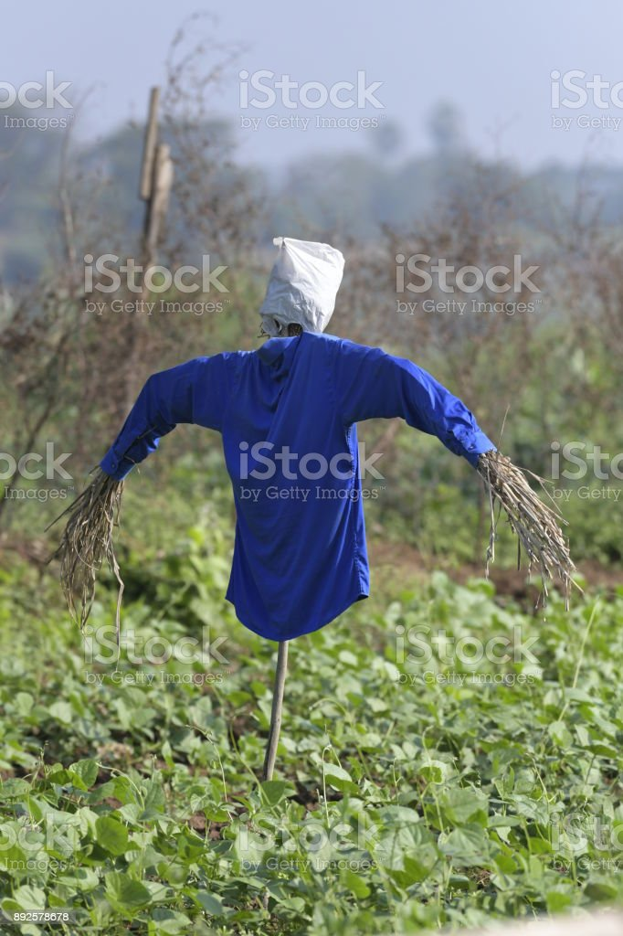 Scarecrow with Blue Shirt in the Field stock photo