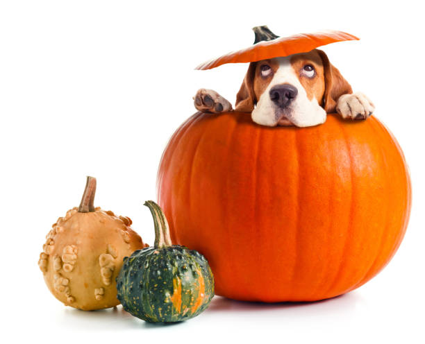 scared beagle in pumpkin . - gourd stock photos and pictures