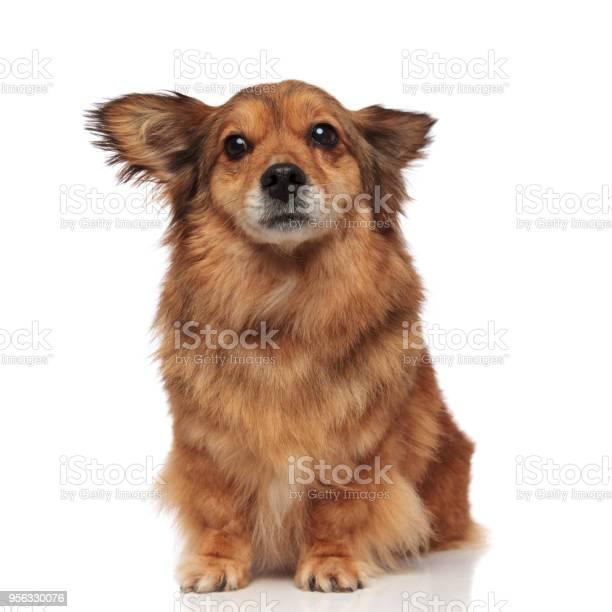 Scared brown metis dog makes wide eyes picture id956330076?b=1&k=6&m=956330076&s=612x612&h=ekhag3jgc4xemoxs 02emp995zcwhisga4rropfnnfk=