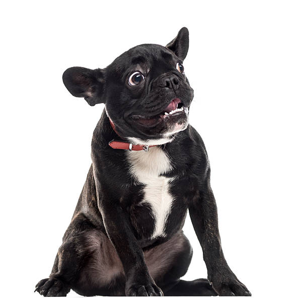 Scared dumb french bulldog making a face isolated on white picture id514328380?b=1&k=6&m=514328380&s=612x612&w=0&h=xhhyrtlc2eyereudumdpix4fvwvmye7xqulolgczjf4=