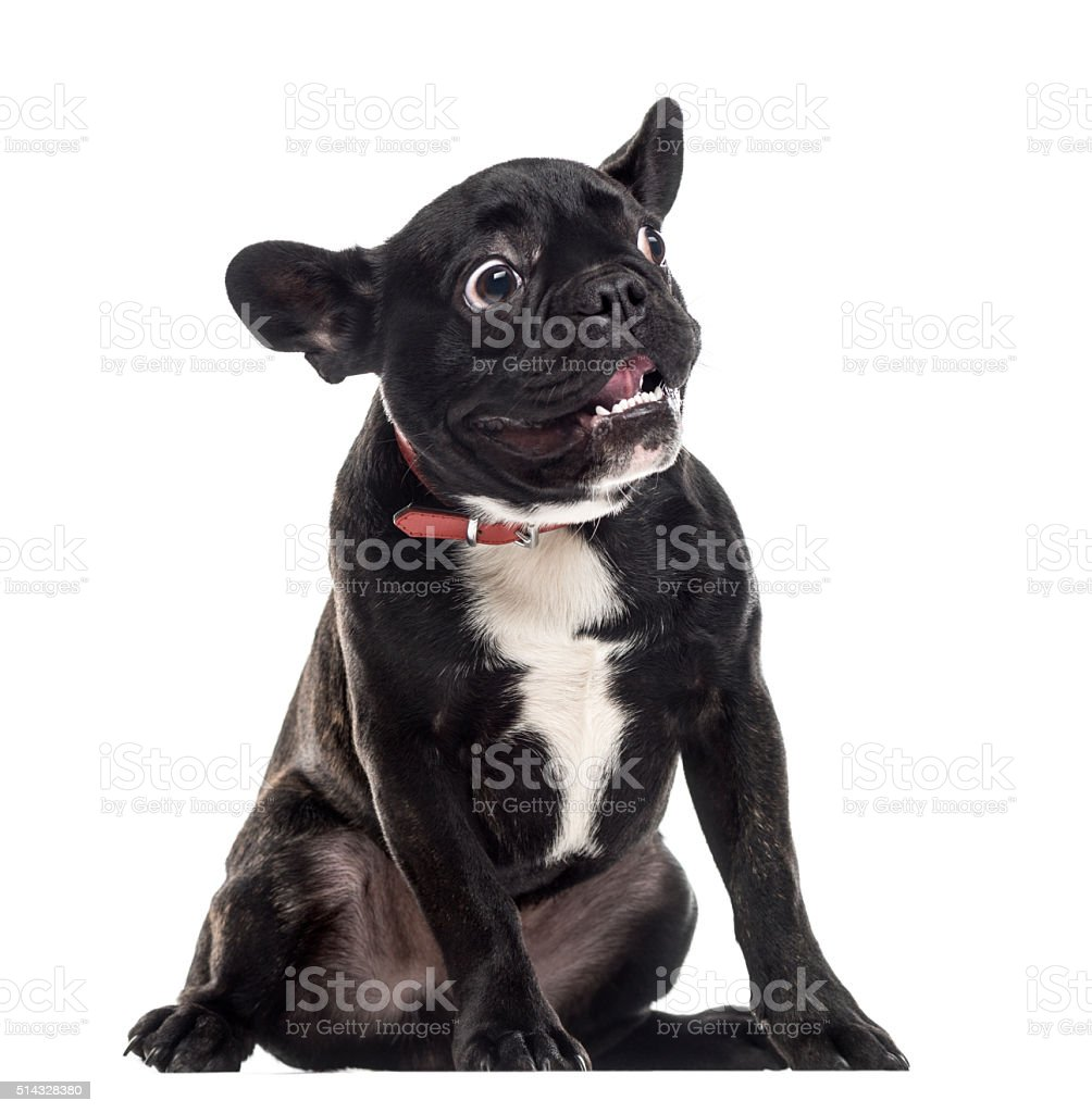 Scared dumb French Bulldog making a face, isolated on white stock photo