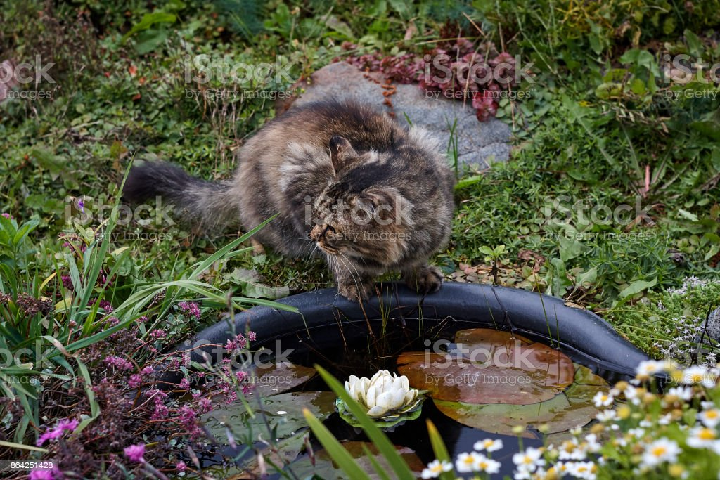 scared fluffy siberian cat look back royalty-free stock photo