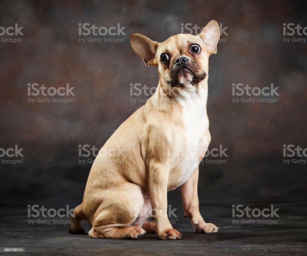 Scared French Bulldog (Purebred) Making a Funny Face - foto de stock