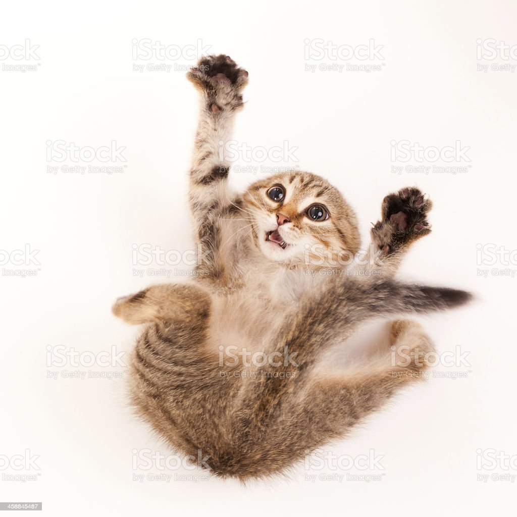 Scared kitten falling and reaching up royalty-free stock photo