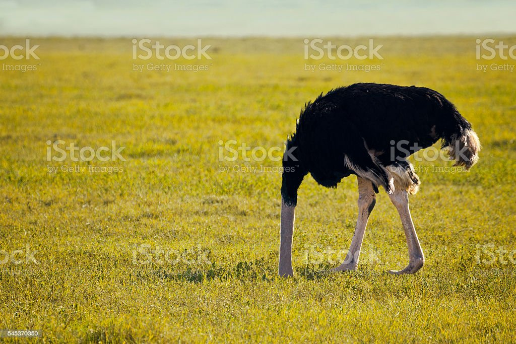 Scared ostrich stock photo