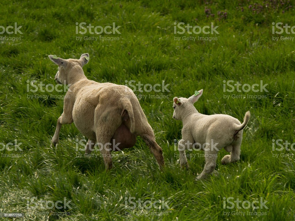 Scared sheeps stock photo