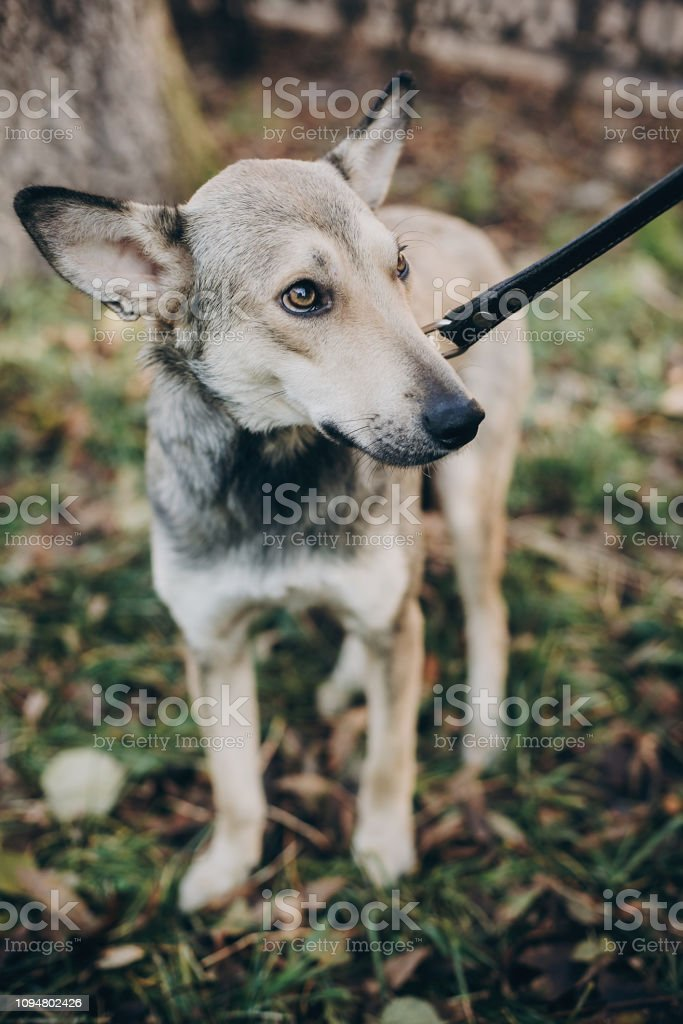 Scared stray dog with sad eyes and emotions walking in city street....