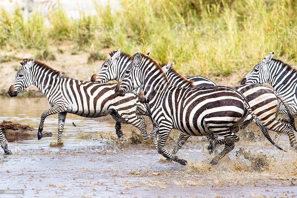 Scared zebras trots in the water stock photo