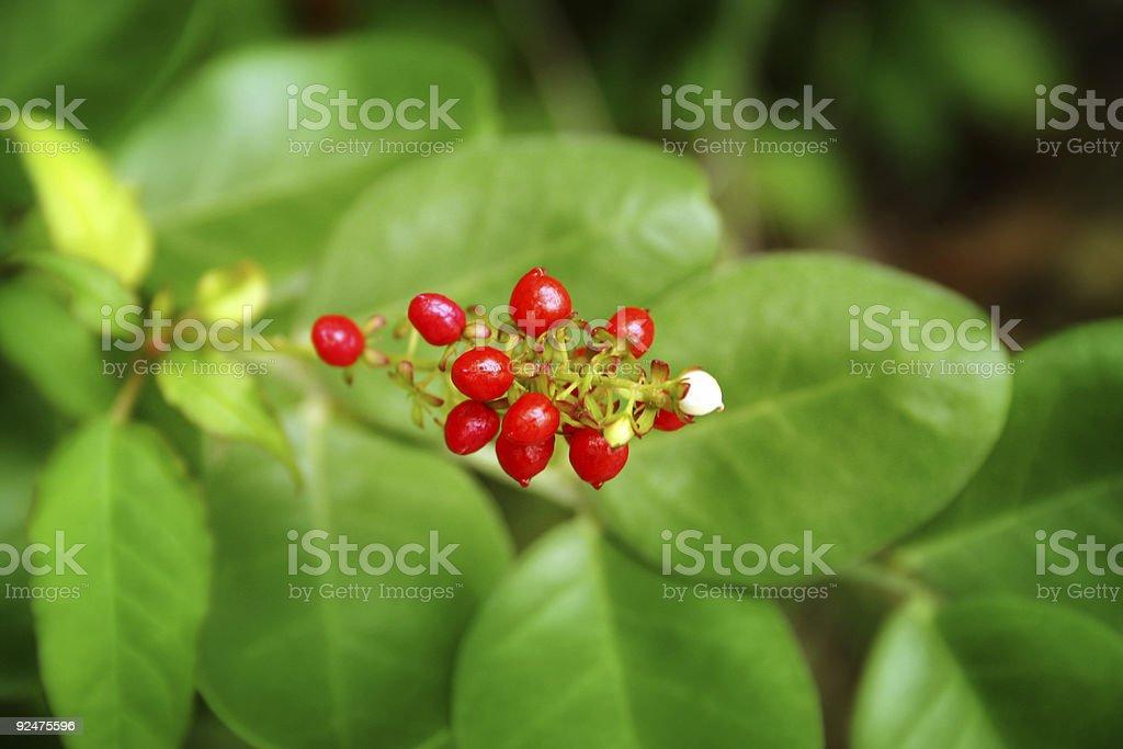 Scarlet Berries royalty-free stock photo