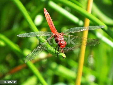 Common names: Broad Scarlet, Common Scarlet-Darter, Scarlet Darter