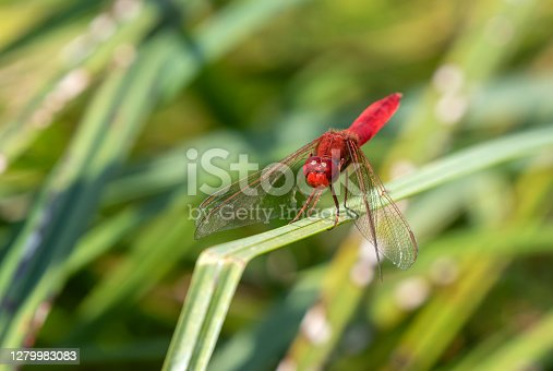 istock Scarlet dragonfly 1279983083