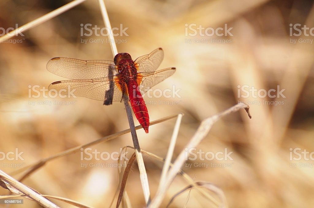 Scarlet Dragonfly (Crocothemis erythraea) royalty-free stock photo