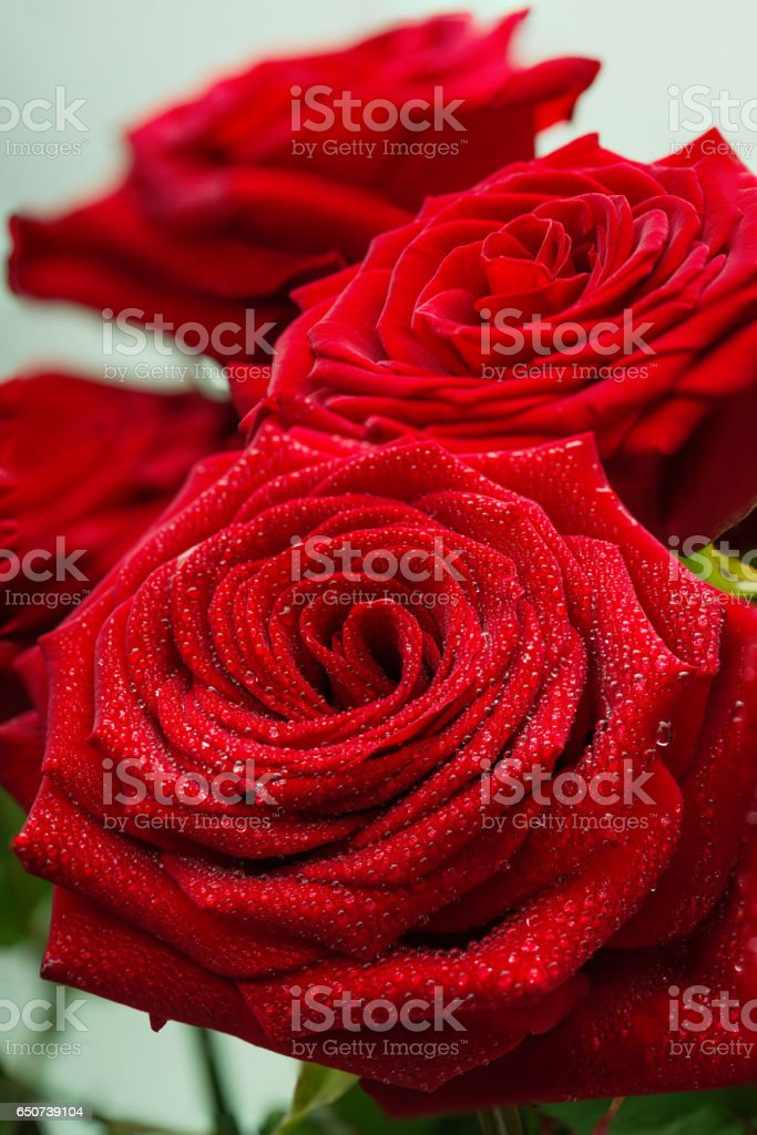 Scarlet fresh roses with dewdrops on petals стоковое фото