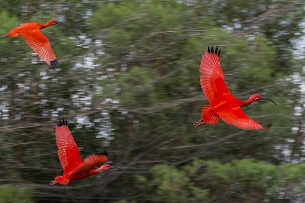 Scarlet Ibis fliegt über den Wald – Foto