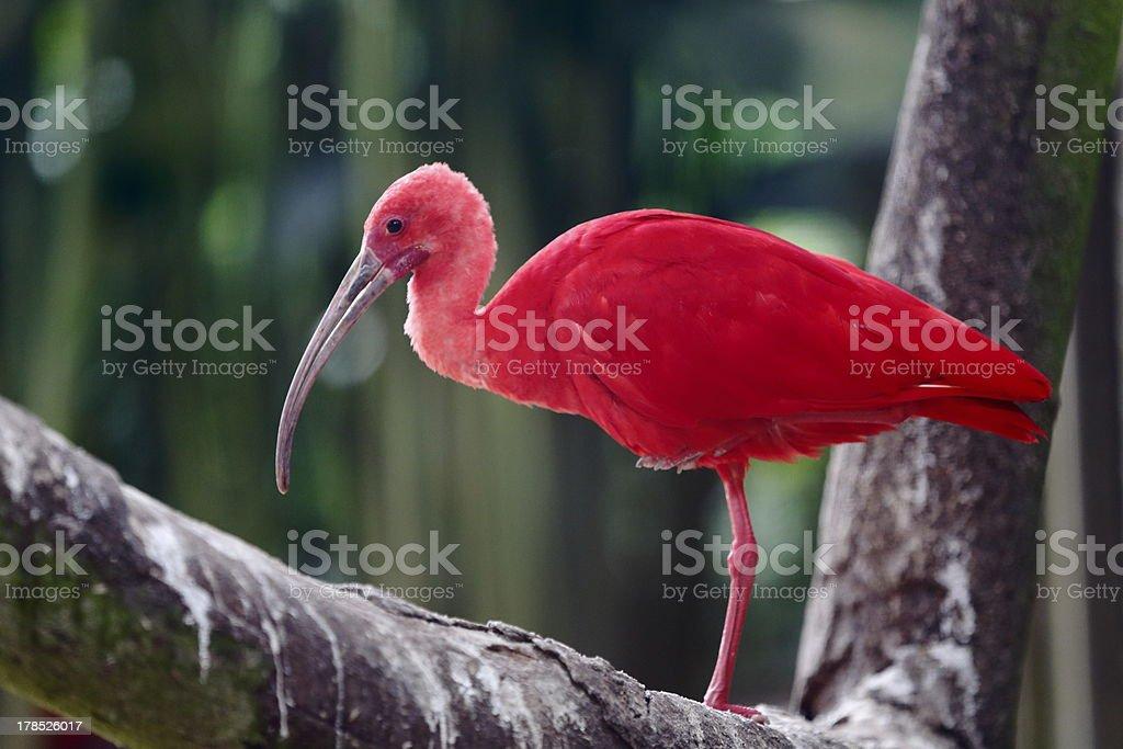 Scarlet Ibis stock photo