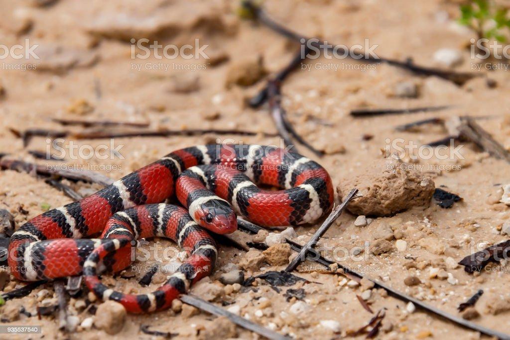 Scarlet Kingsnake stock photo