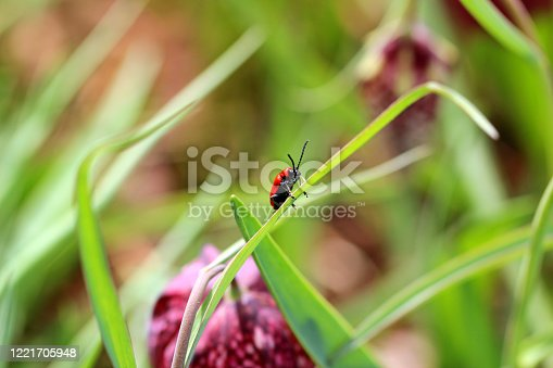 Striking red beetle in the family Chrysomelidae, familiar as a pest of garden plants and flowers
