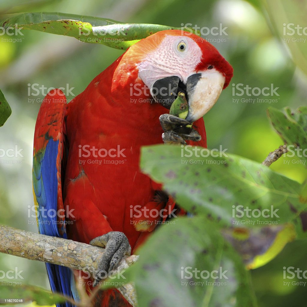 scarlet macaw, Ara macao, eating beach almond in tree royalty-free stock photo