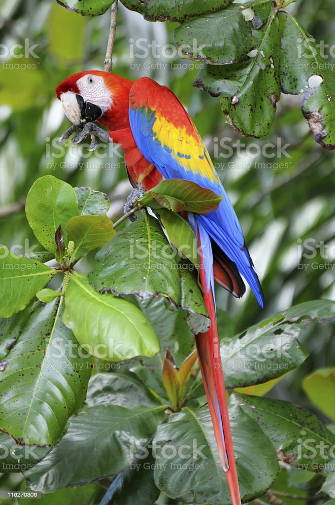 scarlet macaw, Ara macao, eating beach almond in tree stock photo