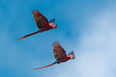 scarlet macaw, Ara macao, two beautiful parrots flying in Costa Rica