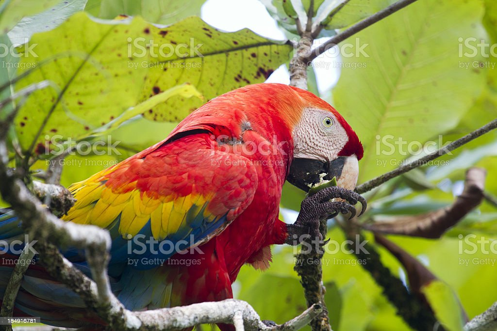 Scarlet Macaw Eating Nut in Rainforest royalty-free stock photo