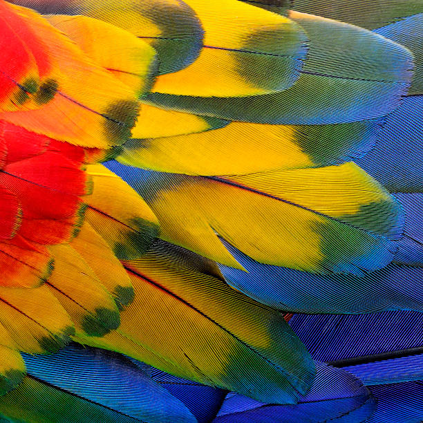 scarlet macaw feathers. - green winged macaw stock photos and pictures