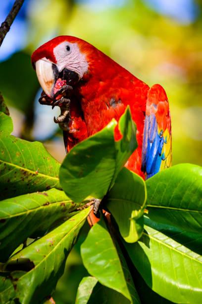Scarlet macaw (Ara macao) feeding on beach almonds. stock photo