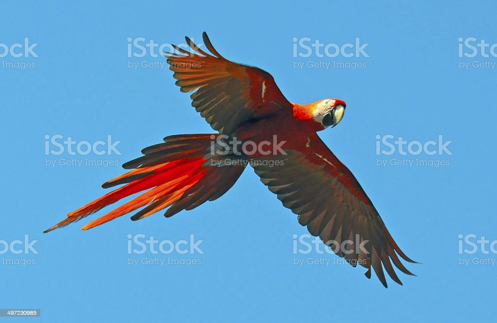 Scarlet Macaw Flies stock photo