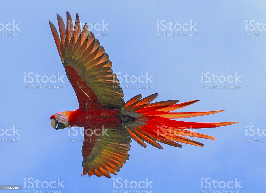 Scarlet Macaw Flight stock photo