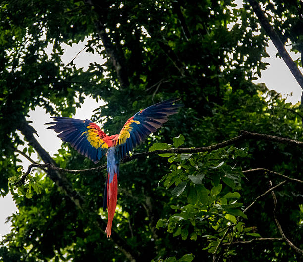 scarlet macaw flying - copan, honduras - green winged macaw stock photos and pictures