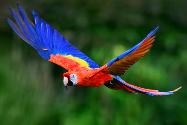 Scarlet macaw flying in nature stock photo