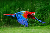 A red scarlet macaw (Ara macao) in flight.