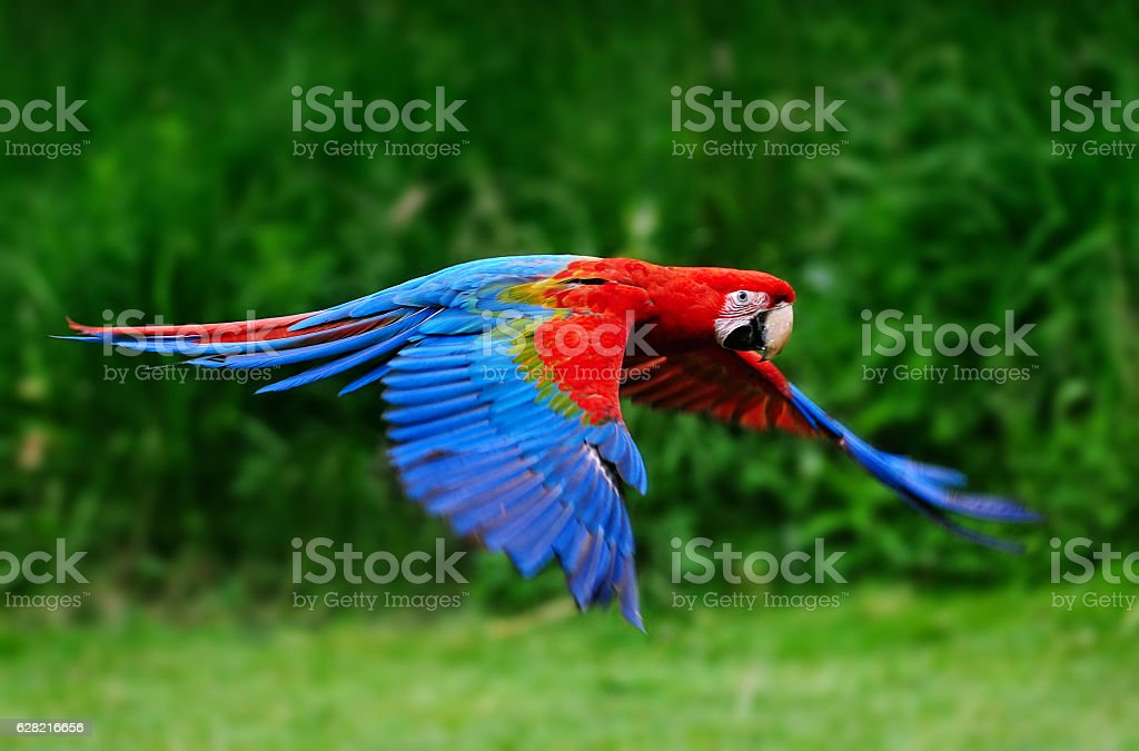Scarlet macaw flying in nature - foto de acervo