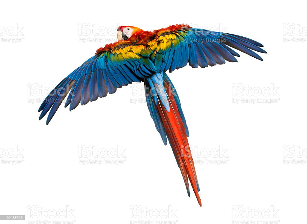 Scarlet Macaw flying (4 years old), isolated on white royalty-free stock photo