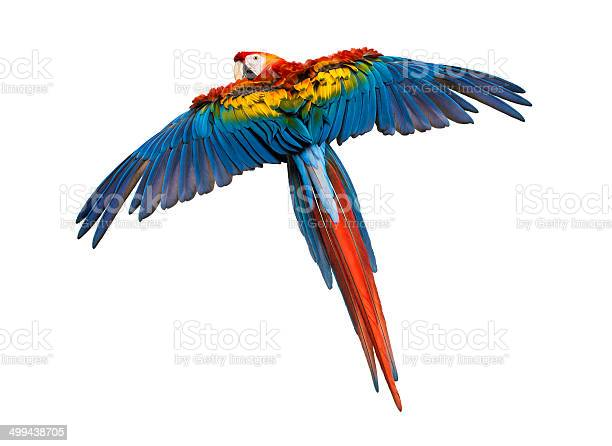 Scarlet macaw flying isolated on white picture id499438705?b=1&k=6&m=499438705&s=612x612&h=0kbebjjqq5asgzznhp lajusuhxv1fbshi uslhk990=