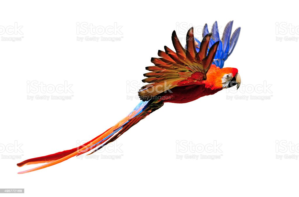 scarlet macaw in flight stock photo