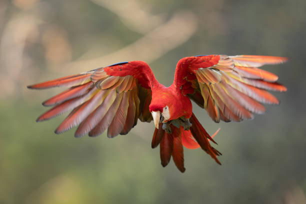 Scarlet macaw in the fly. Ara macaro. stock photo
