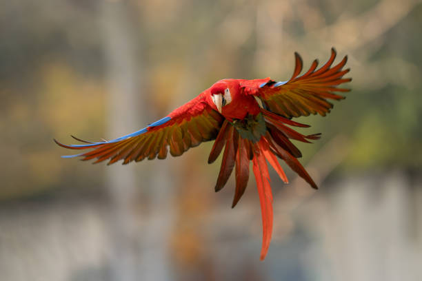 Scarlet macaw in the fly with spread wings. stock photo