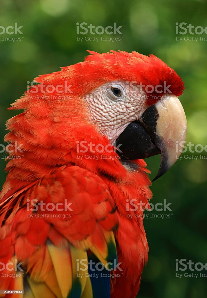 Scarlet macaw in the rainforest. - foto de acervo