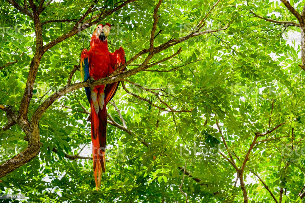 Scarlet macaw in the wild stock photo