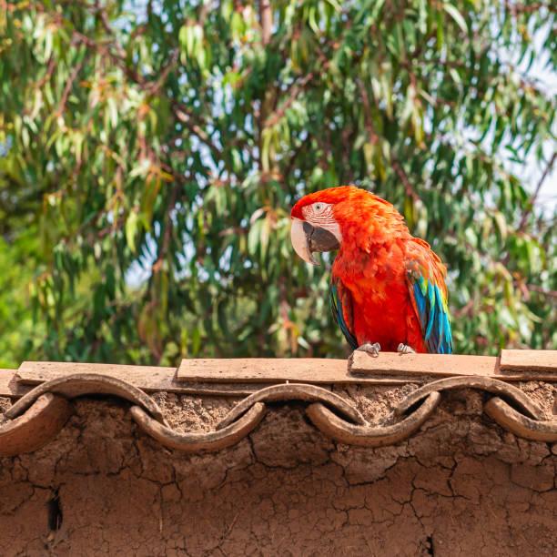 scarlet ara auf einem dach, peru - urbanara stock-fotos und bilder