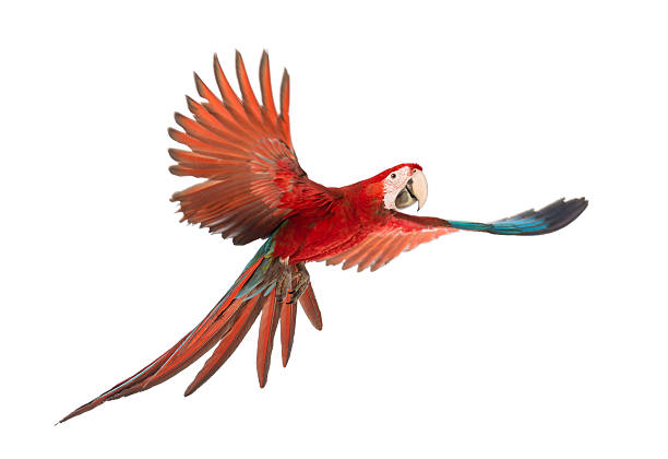 a scarlet macaw parrot, ara chloropterus, age 1, in flight - green winged macaw stock photos and pictures