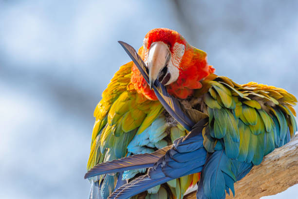 Scarlet macaw parrot perching on branch and cleaning its feathers.Colourful, exotic bird portrait. stock photo