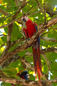 scarlet macaw, Ara macao, a beautiful parrot perched on a tree in Costa Rica