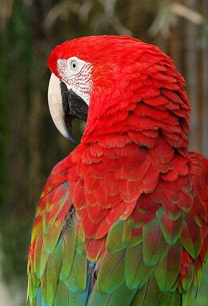 Scarlet Macaw Parrot Portrait stock photo