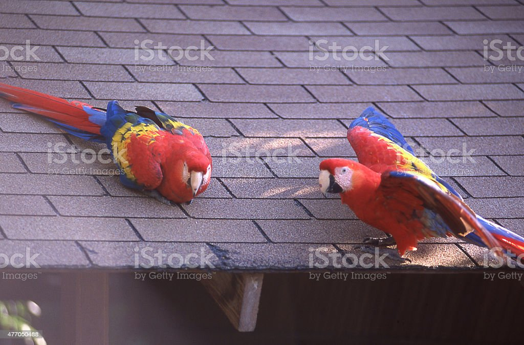 Scarlet Macaw Pet Birds house roof Roatan Bay Islands Honduras stock photo