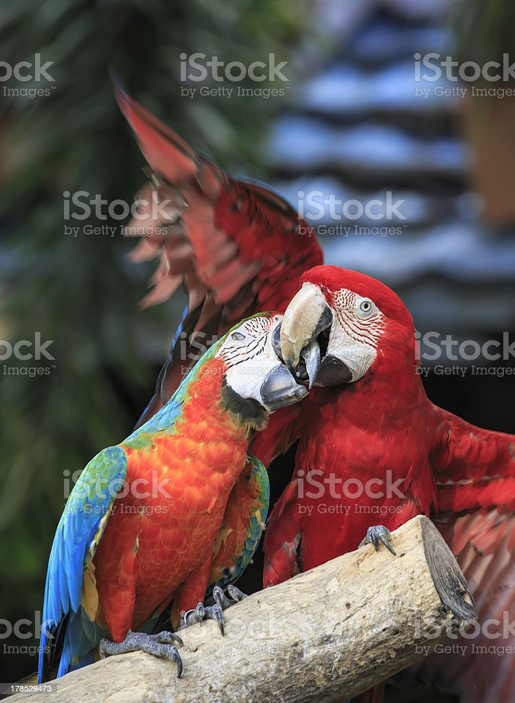 Scarlet Macaw royalty-free stock photo