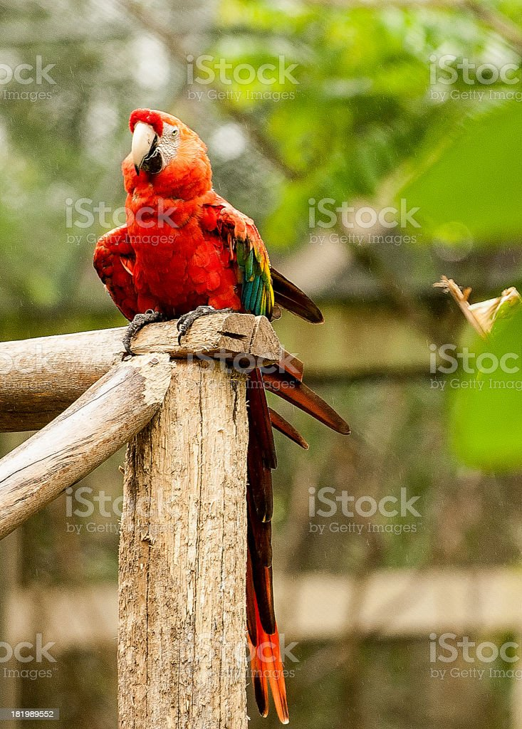 Scarlet Macaw royalty-free stock photo