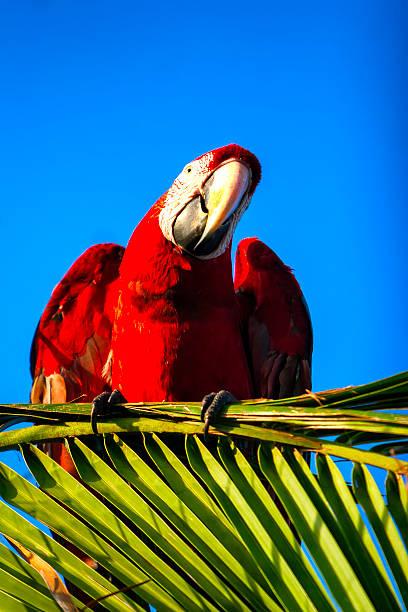 Scarlet macaw picture id498547130?b=1&k=6&m=498547130&s=612x612&w=0&h=lkczgsl8lczaezwzy1fmodik4xrslpomdaycvgtgomo=